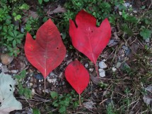 Three red sassafras leaves of varying sizes arranged on the ground.