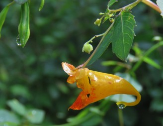 A drop of dew hangs off the bottom of an orange jewelweed flower