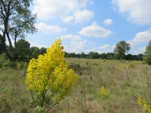 An open field with a yellow-leaved bush in the foreground and trees in the distance. The sky is light blue and full of puffy, white clouds.
