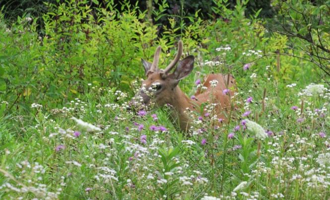 Buck in autumn wildflower meadow