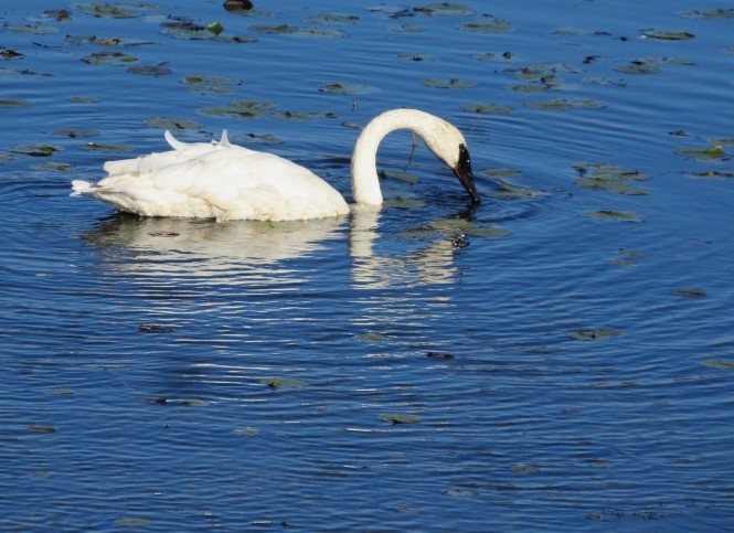 Trumpeter Swam feeding on submersed vegetation