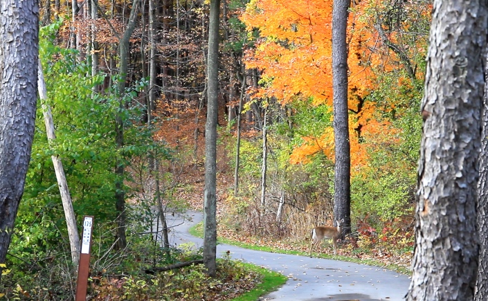 A cement path winds down through a heavily wooded area. Foliage is turning from green to shades of yellow and orange. A deer stands near a tree and is almost hidden as its color blends in with the foliage around it.