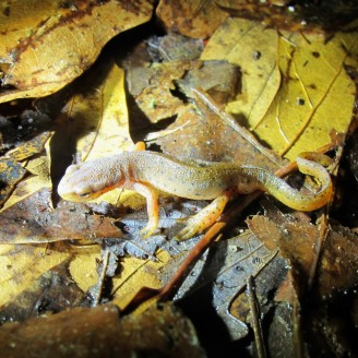 A close-up photo of a red spotted newt on wet and yellowing leaves on the ground. Contrary to its name, this newt is pale greenish-brown in color with yellow legs.