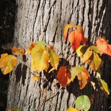 A poison ivy vine with red, orange, yellow, and green leaves wrapped around a thick tree trunk.