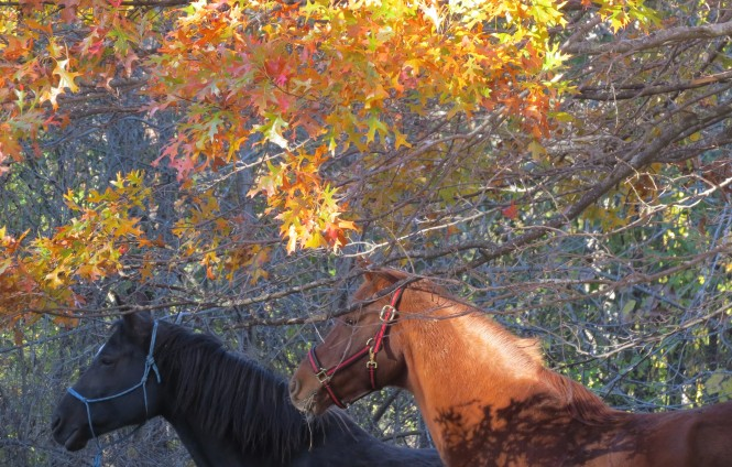 A photograph of two horses (one black and one chestnut colored) taken from the neck up as they walk though a wooded area. An oak tree with leaves changing from green to orange fills the background.