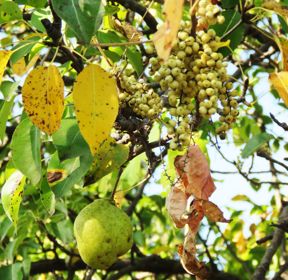 Poison ivy berries hang near a pear tree with fruit.