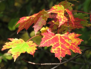 A close up photograph of maple leaves on a branch. The leaves are multi-colored (red, yellow, and green) with dappled spots of sunlight.