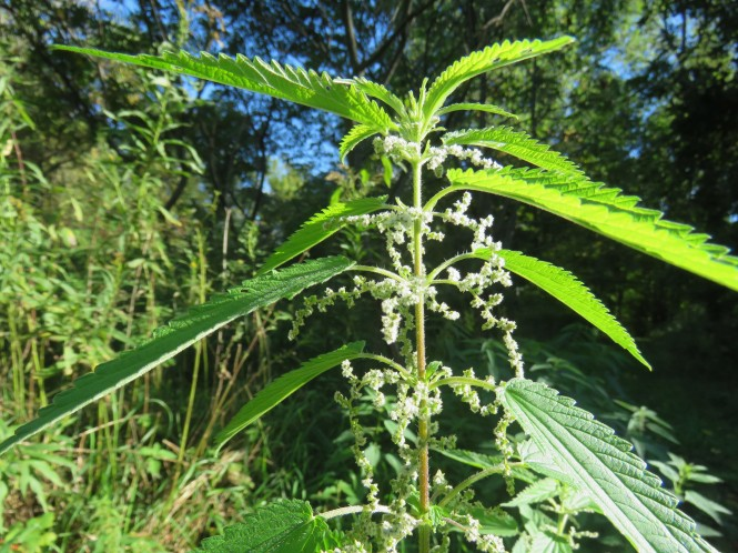 A stinging nettle plant stands in a wooded area on a sunny day. The leaves are green with scalloped edges and the stem has tiny hairs on it. It also has tiny white flowers.