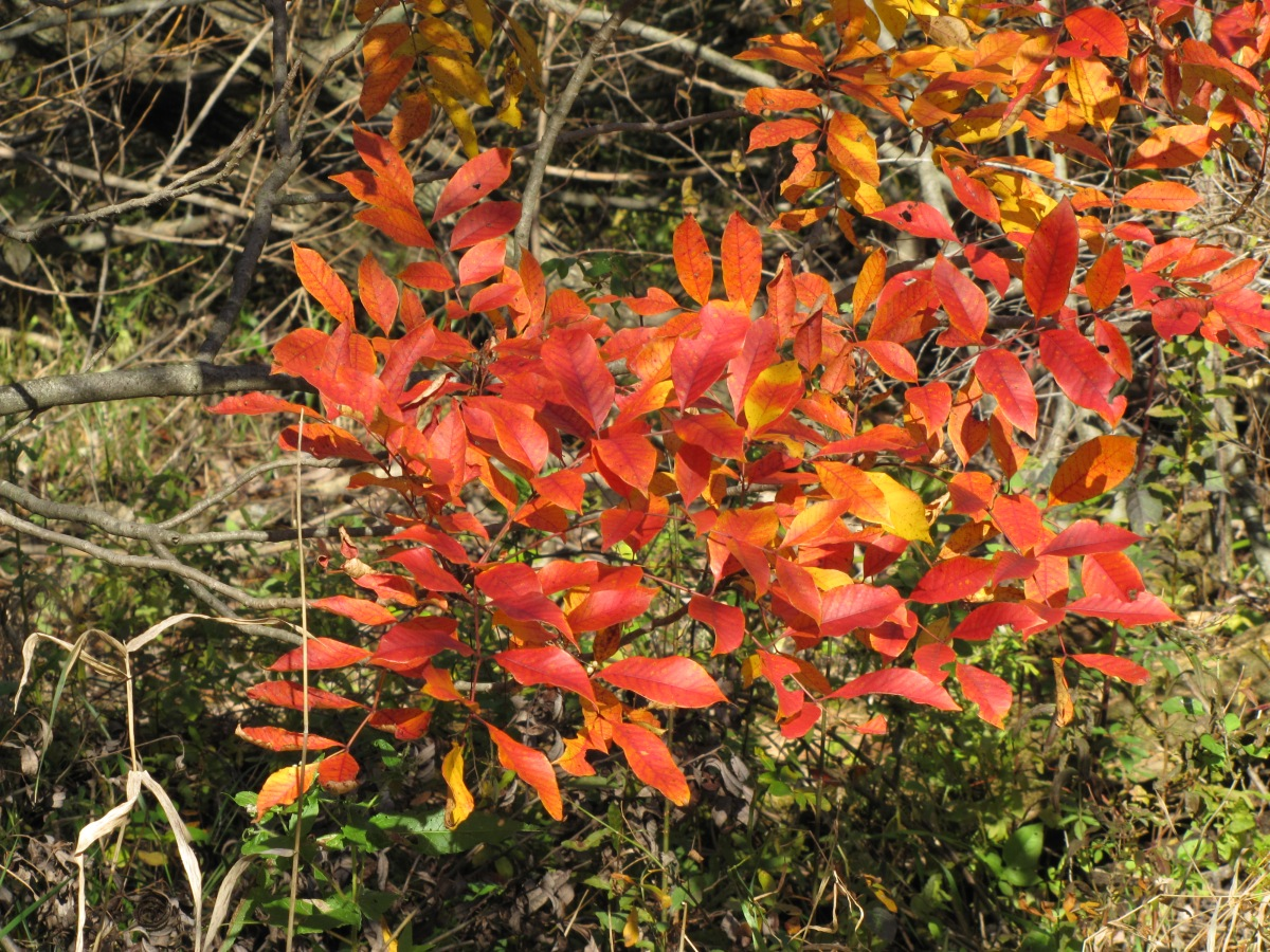 The red leaves of a poison sumac plant