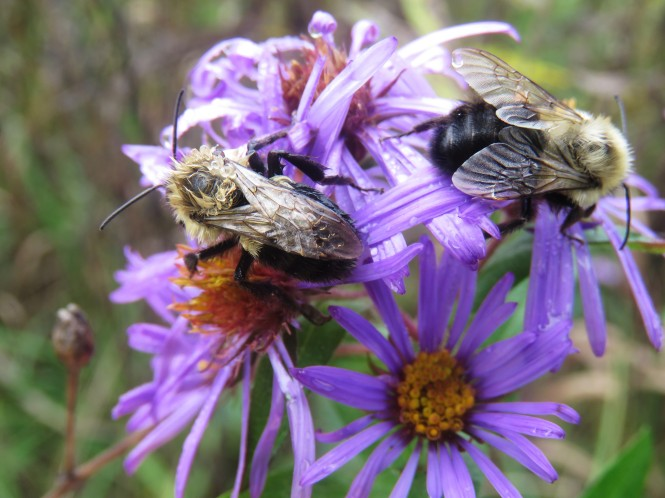 Two bumble bees gather pollen on cluster of New England Aster flowers (light purple with yellow centers).