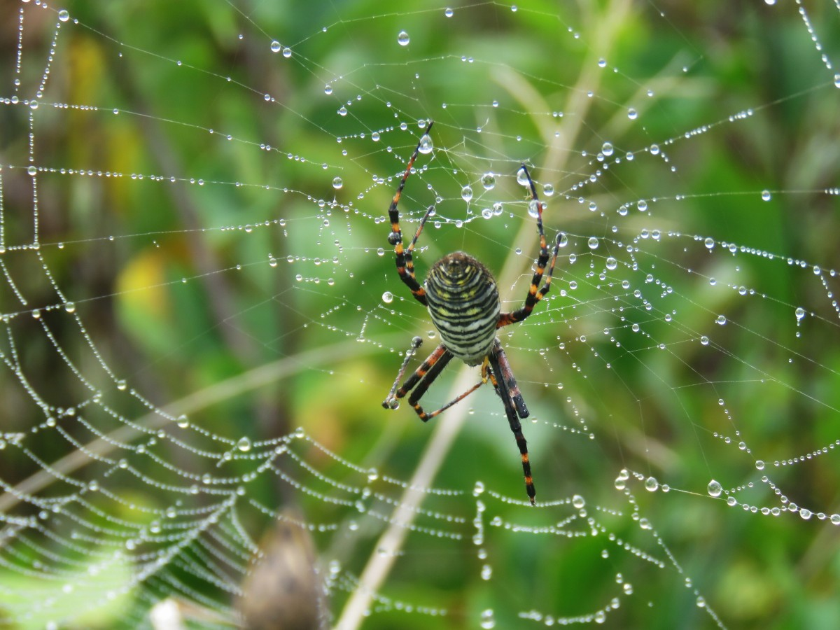A Banded Orb Spider in her dewy web.