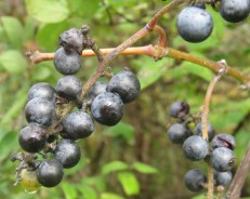 A cluster of dark purple wild grapes hang from a branch. Green foliage is blurred in the background.
