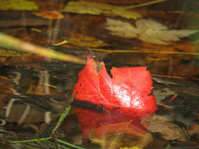 A close-up photo of a red maple leaf that is half submerged in a body of water.