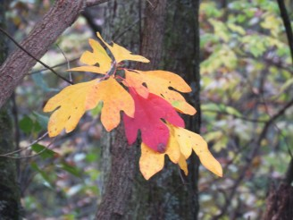 Sassafras leaves, four yellow and one red, hang down from a branch.