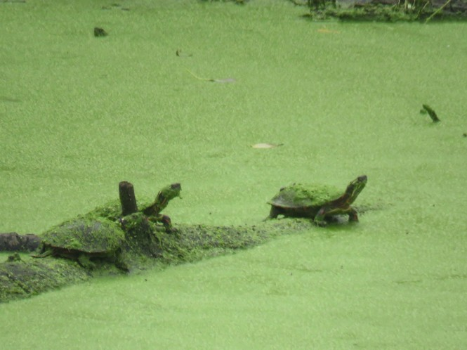 Three painted turtles on log in a body of water completely covered with duckweed.