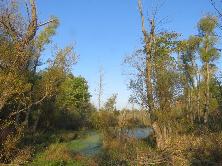A photo taken from the edge of a swamp on a cloudless day. Tall trees surround the swamp. Foliage is just starting to turn from green to fall colors.