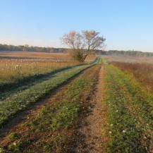 A path made by a vehicle cuts two straight lines through a meadow with milkweed on either side.