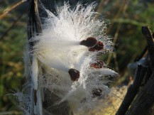 A close-up photo of a white strands and dark brown seeds of a milkweed plant.