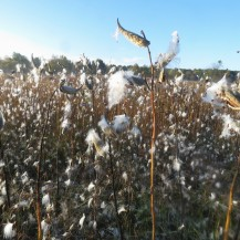 A meadow full of milkweed pods under a bright blue morning sky.