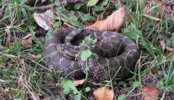 An Eastern Massasauga Rattlesnake coiled up in green grass and fallen leaves.