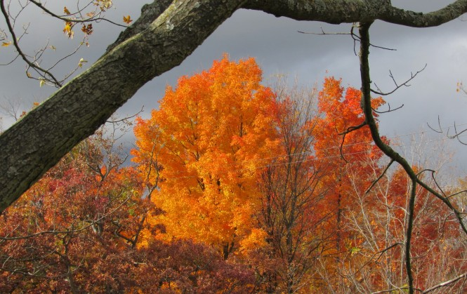 A photograph of trees with brilliant orange fall foliage. The sky is dark gray and hints at an upcoming storm.