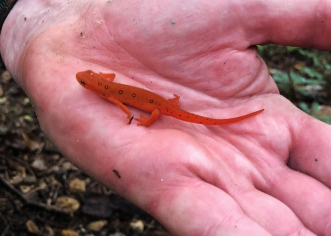 A close-up of photo of a red eft (juvenile, land-trekking terrestrial form of the red-spotted newt) in a man's hand.