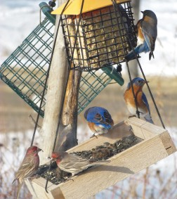 Three Eastern bluebirds and two red finches gather on a bird feeder tray and cage filled with suet. Snow covers the ground in patches.