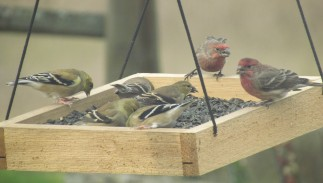 Yellow and red finches gathers in and on the edges of a hanging bird feeder tray that is filled with black oil sunflower seeds.
