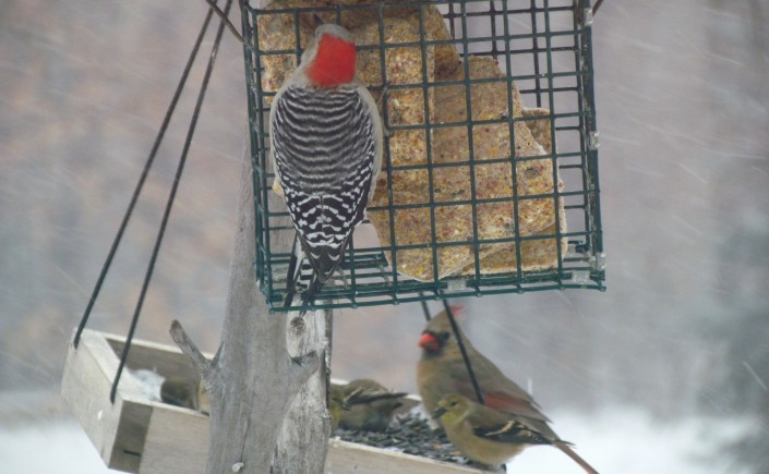 A woodpecker nibbles on suet from a caged bird feeder, while a female cardinal and several yellow finches eat black oil sunflower seeds from a hanging tray beneath it. It's a wintery day and snow is blowing sideways.
