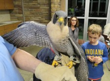 A peregrine falcon spreads one wing while perched on a gloved hand.