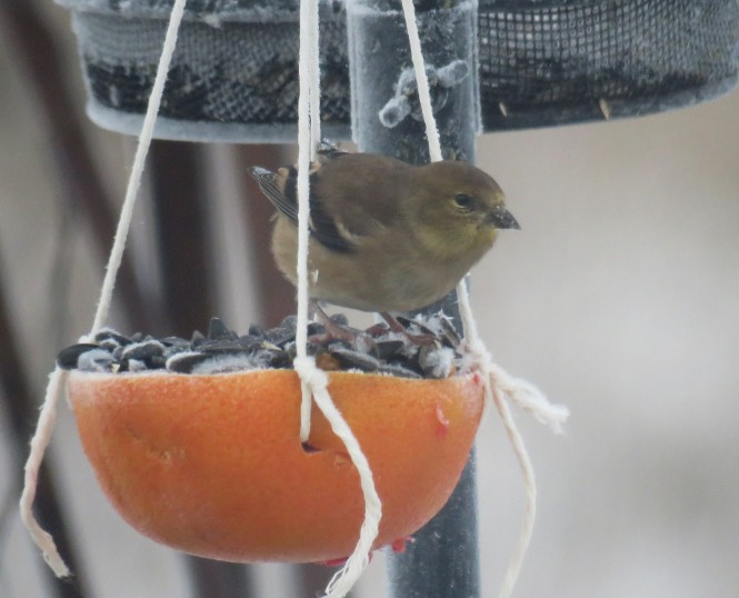 A yellow finch sits on a hanging bird feeder made from a grapefruit that's been cut in half, hollowed out, and filled with peanut butter and bird seed.