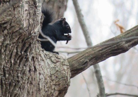 A black squirrel sits in a tree nibbling on a nut.