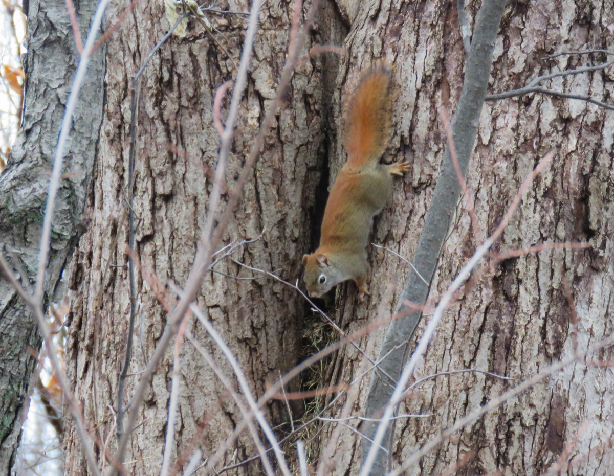 A squirrel runs head first down a tree.