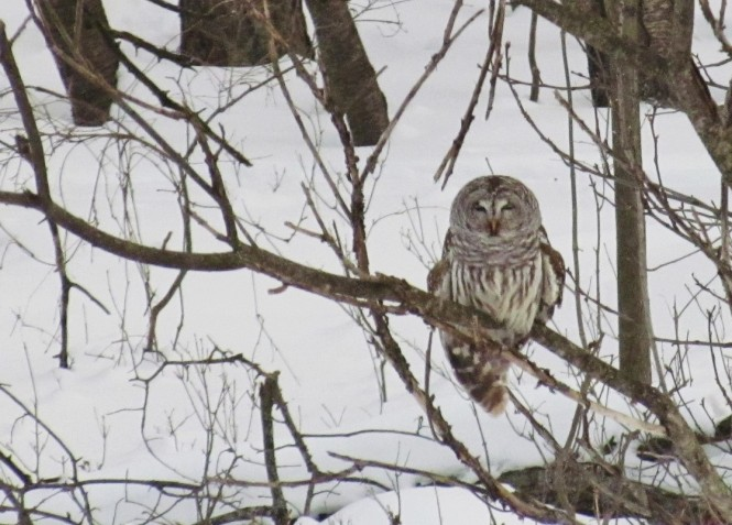 A barred owl, sits perched on branch on a snowy, winter day. It has brown-and-white-striped plumage and its eyes are closed.