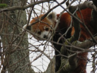 A red panda peering down from high branches.