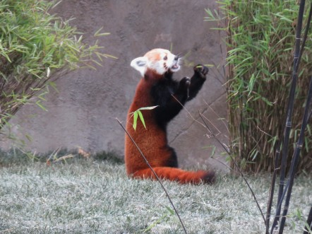 A red panda stands on its haunches to eat bamboo