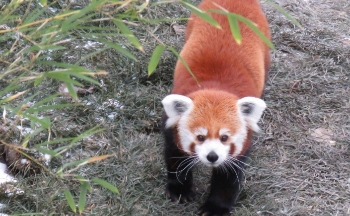 A red panda looks up at the camera.