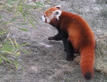 A red panda walking away