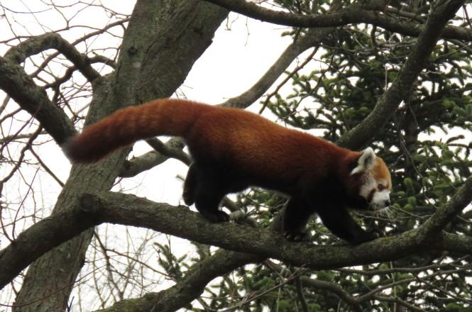 A red panda walks across a tree branch