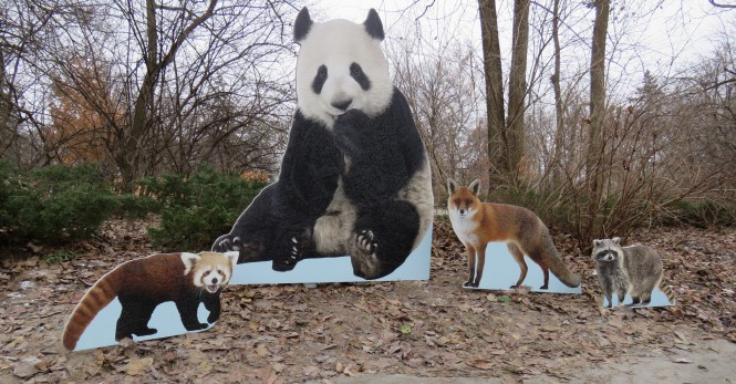 Life-size standups of a panda, red panda, red fox, and raccoon show the size differences between them.