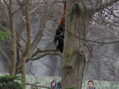A red panda climbs headfirst down a tree
