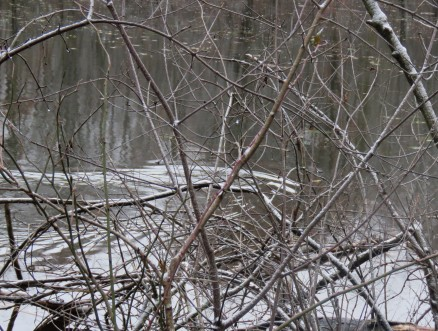 The wake from a beaver seen through branches from shore.