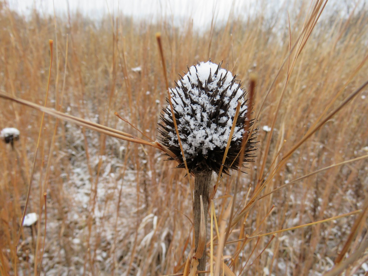 A dried seed head in a prairie laced with snow