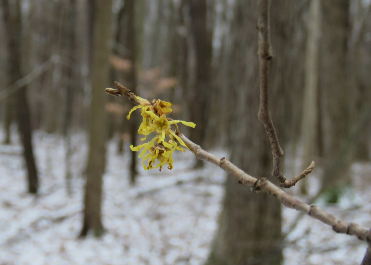 A golden witch hazel bloom