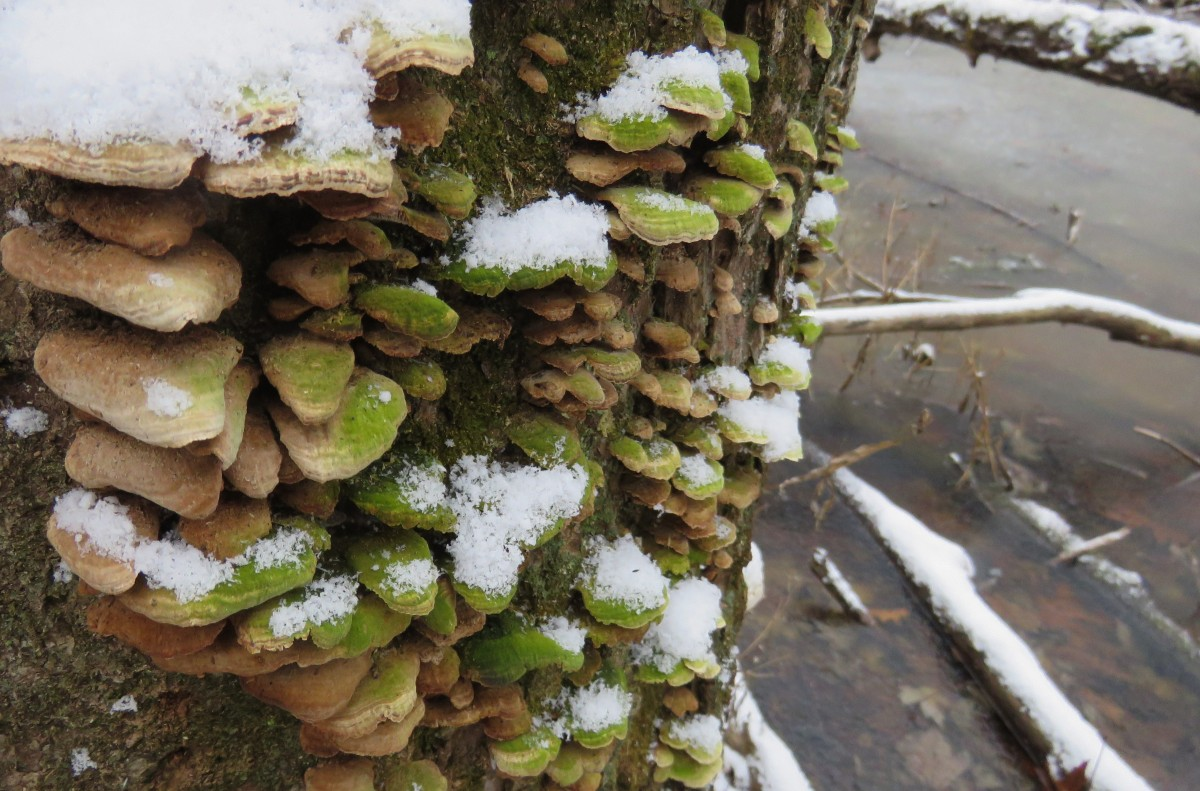 Snow frosted fungi on a tree trunk