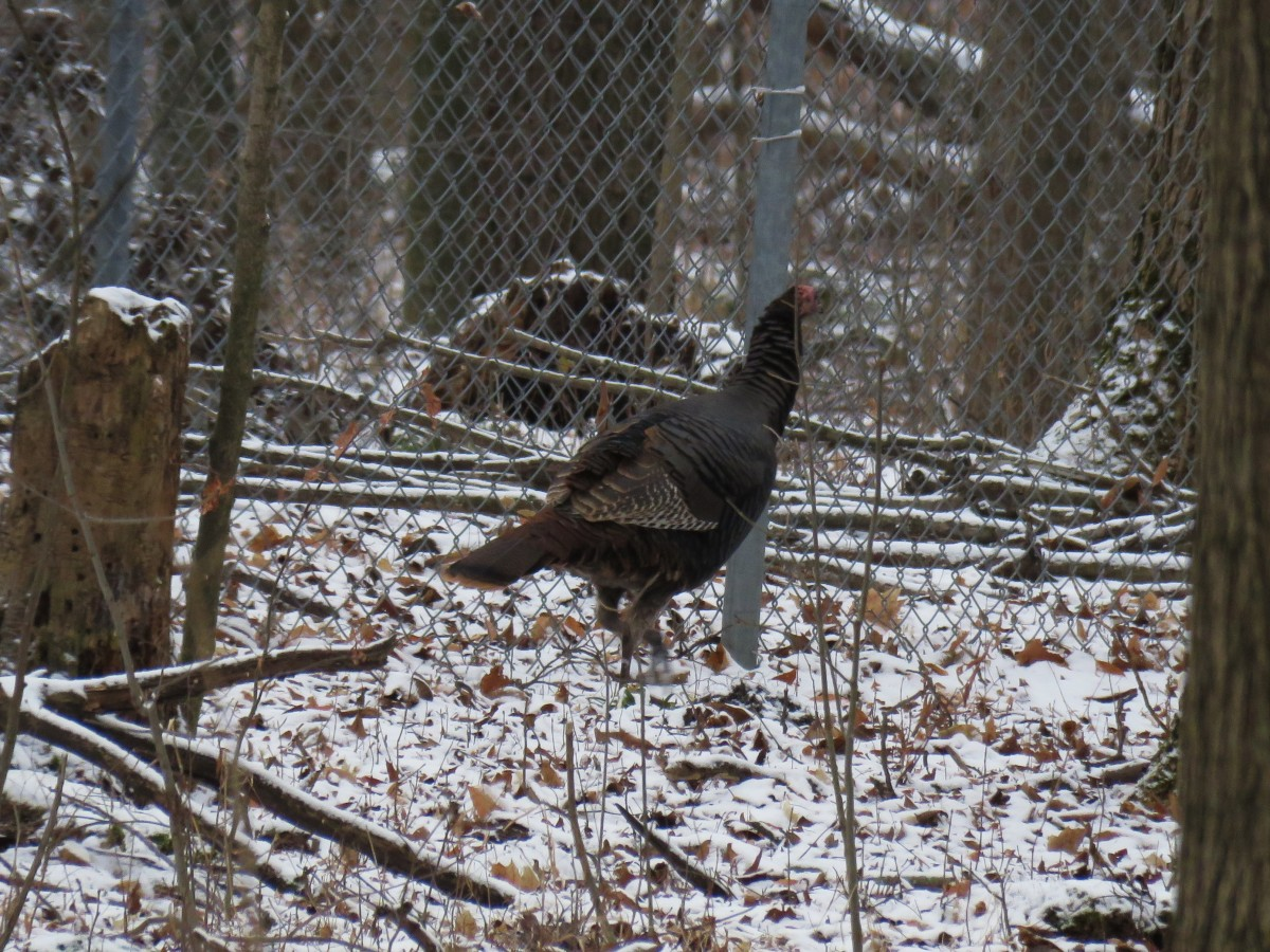 A turkey stands in front of a wire fence on a winter day