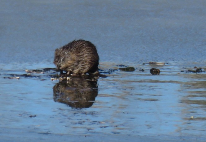 A muskrat eating vegetation on watery ice on a sunny, winter day.