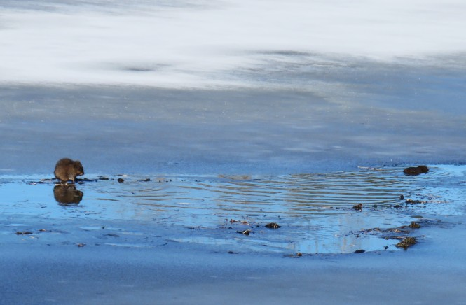 A muskrat stands on an icy lake, in a spot where the lake water is beginning to melt.