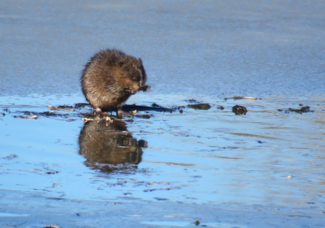 A muskrat chews on vegetation while standing on an ice covered lake that is beginning to melt.