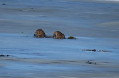 Two muskrats standing on an icy lake.